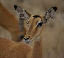 Impala by Barrie Johnson