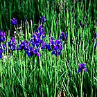 Iris Garden by DeeZ (D L Honeycutt)