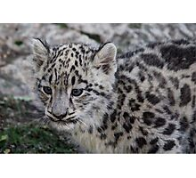 Baby Snow Leopard Photographic Print