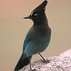 STELLER JAY by Chuck Wickham