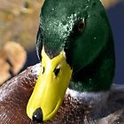 Mr. Mallard by Samantha Dean