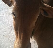 Pure horn of a pure mother cow by BhakteesYogis
