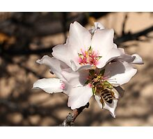 Bee on Apricot Blossom Photographic Print