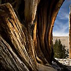 Bristlecone Pine by Keri Oberly