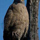 Crested Serpent Eagle II by Steve Bulford