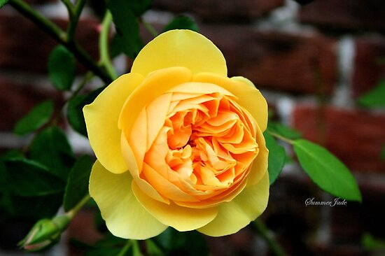 Yellow Rose ~ Symbol of Friendship by SummerJade