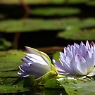Waterlilly 3 by Janine  Hewlett