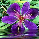 Louisiana Iris by Glenna Walker