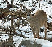 Whitetail Deer Doe in Snow by MotherNature