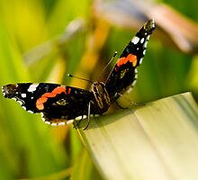 Red Admiral by Pete Costick