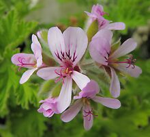 Lemon-scented Geranium by CapturedByKylie