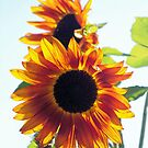 Transparent Sunflower @ by ChereeCheree