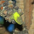 Banksia Seed Pod by ndarby1