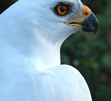 white morph. - Australian Grey Goshawk - portrait by Peter  Tonelli