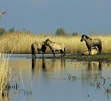 KONIK HORSES IN THE MARSLANDS  by Johan  Nijenhuis