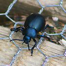 Bloody-nosed beetle....... by jdmphotography
