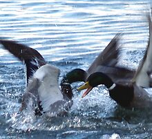 Fighting Mallards by Steve Keefer