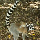 Lemur with baby by Karl Kruger
