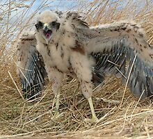 5 week old Marsh Harrier chick in nest by Peter  Tonelli