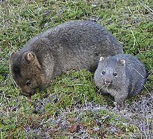 Wombat mother and joey at Cradle Mountain by Christine Beswick
