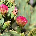 Lipstick Pink Prickly Pear Blooms by Kathleen Brant