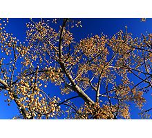 Fruit of the White Cedar Tree Photographic Print