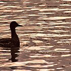 Duck on Golden Lake by Jo Nijenhuis