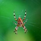 Garden Spider by dougie1