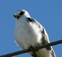 Black Shouldered Kite by Normf