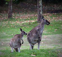 Kangaroos by Michael Eyssens