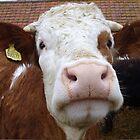Cow by cromerpaul