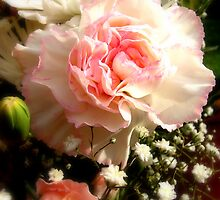 Carnation by karenlynda