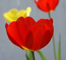 Tulips by Christine King