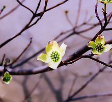 Greening Dogwood by Amanda Jordan