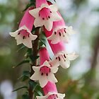 Epacris longiflora .. fuchsia heath by Michael Matthews