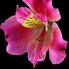 Pink flower by Dipali S
