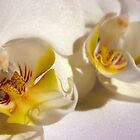 Orchid 3 by Sophie Matthews