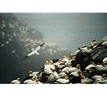 Gannets Photographic Print