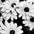 Daisies by spencerphotos