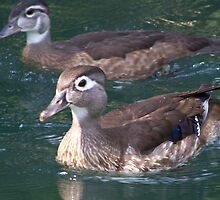 Female Wood Duck and baby by stacyshell67