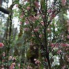 Cradle Mountain Pink Heath  by cradlemountain