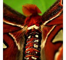 Atlas Moth Photographic Print