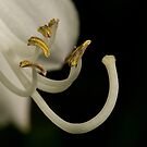Hosta Stamens by Holly Cawfield