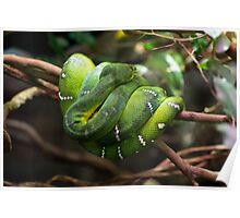 Green Tree Snake - Melbourne Zoo Poster