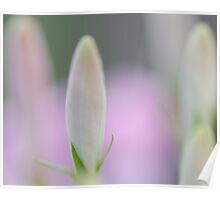 Cleome Buds Poster