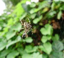 European garden spider (female)araneus diadematus.orb web spider. by brucemlong
