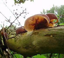 Jelly Ear-Auricularia aurcula-judae by brucemlong