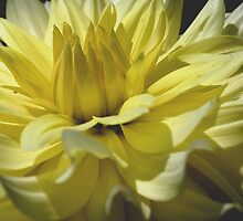 Yellow Dahlia Up Close Flower Photograph by SmilinEyes