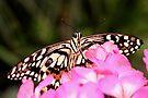 Colorful Butterfly by Jo Nijenhuis