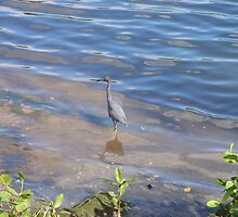 Little Blue Heron by Malcolm Snook